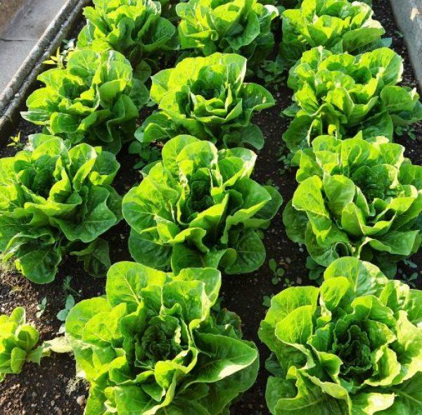abschneiden-salat
